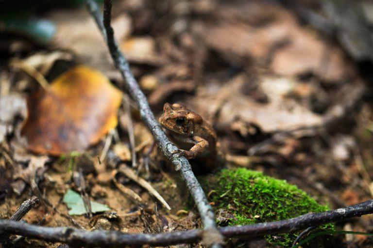 Wildlife Toad