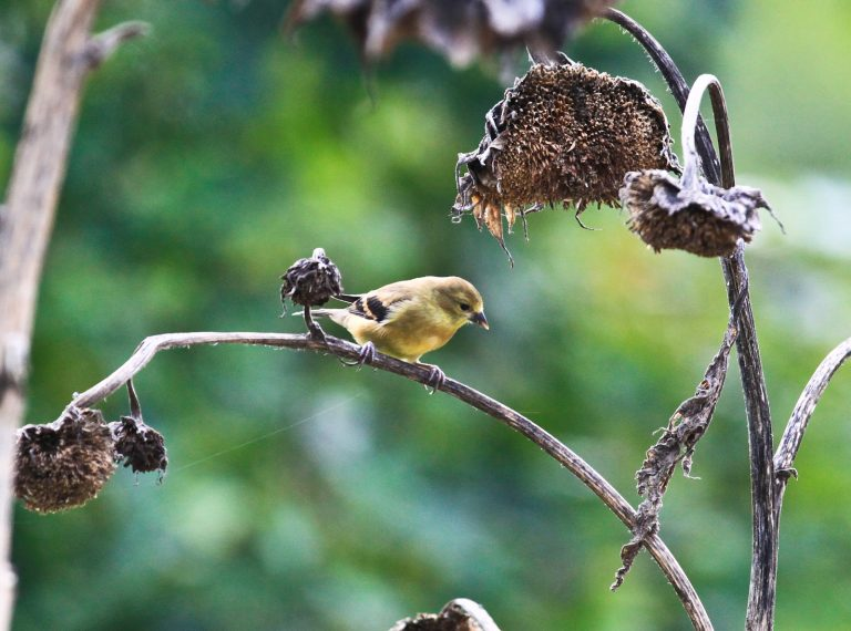 One Goldfinch