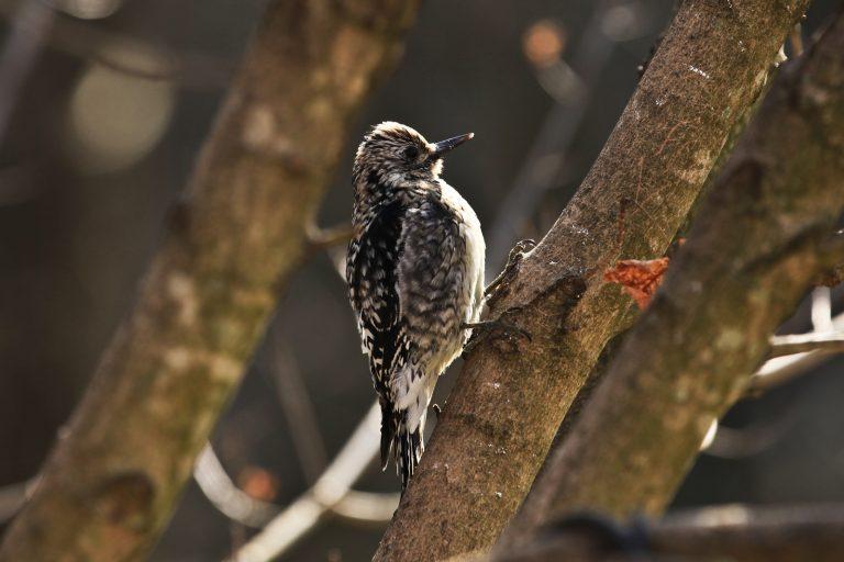 Mystery Woodpecker