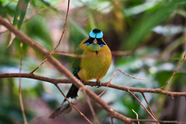 Blue-crowned Motmot Pt.1