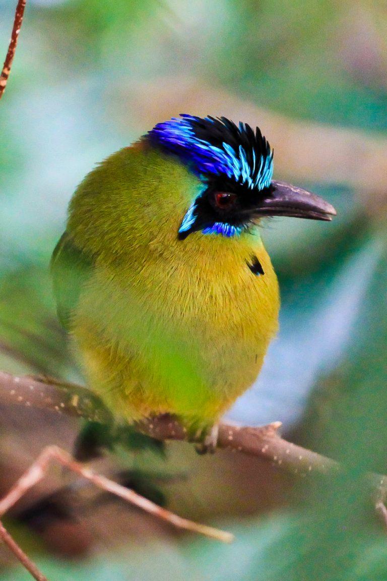 Blue-crowned Motmot Pt.3