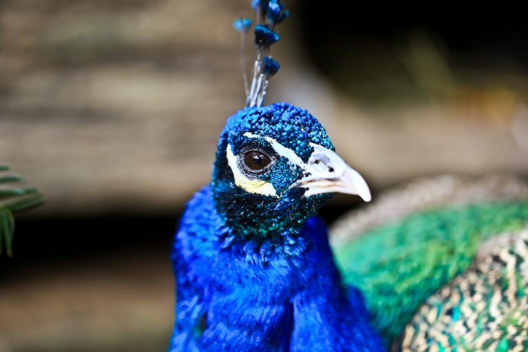 Indian Peafowl (Peacock) Pt.1