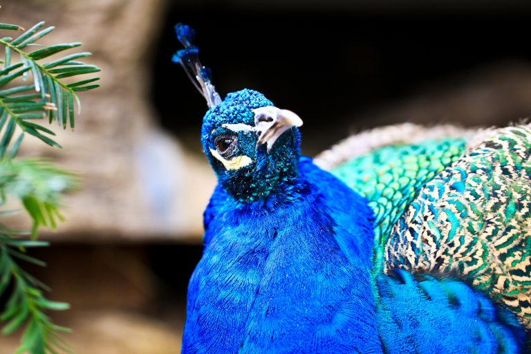 Indian Peafowl (Peacock) Pt.2
