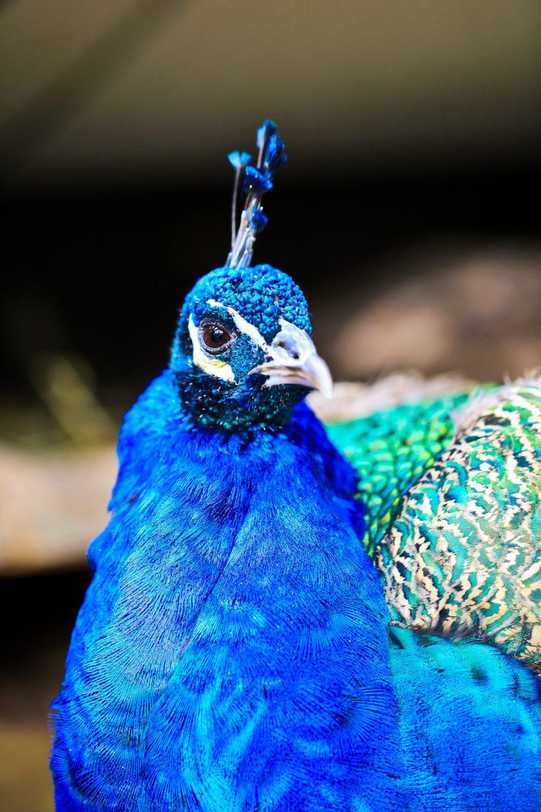 Indian Peafowl (Peacock) Pt.3
