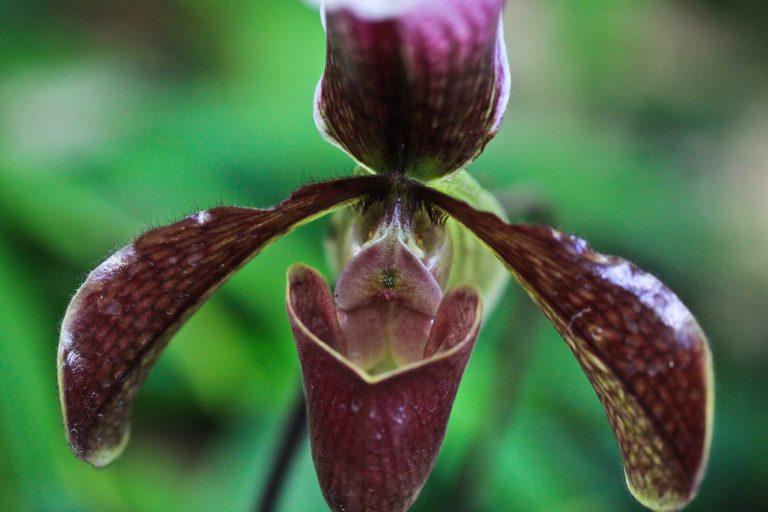 "Paphiopedilum ""Bingleyense"" Orchid (Ladyslipper Orchid)"