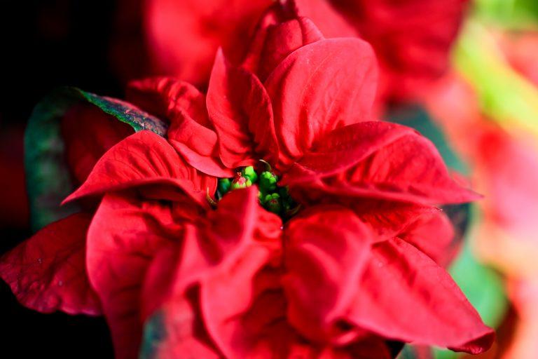 """""""Winter Rose"""" Poinsettia"""