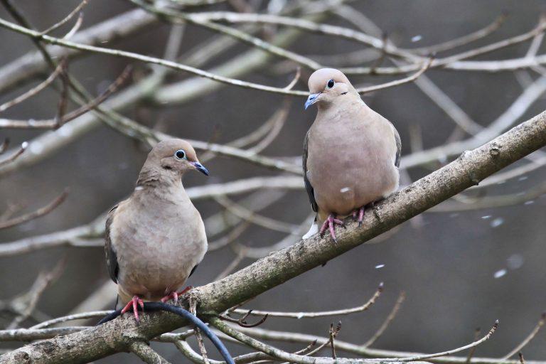 Snow Doves