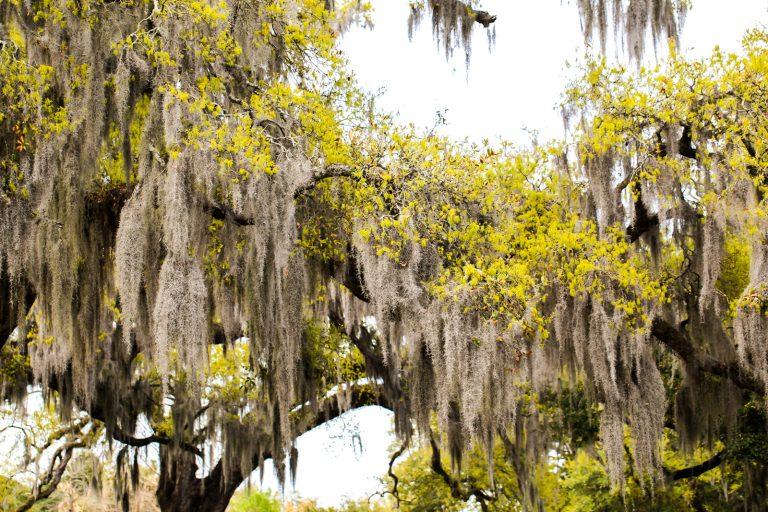 New Orleans' Spanish Moss Pt.2