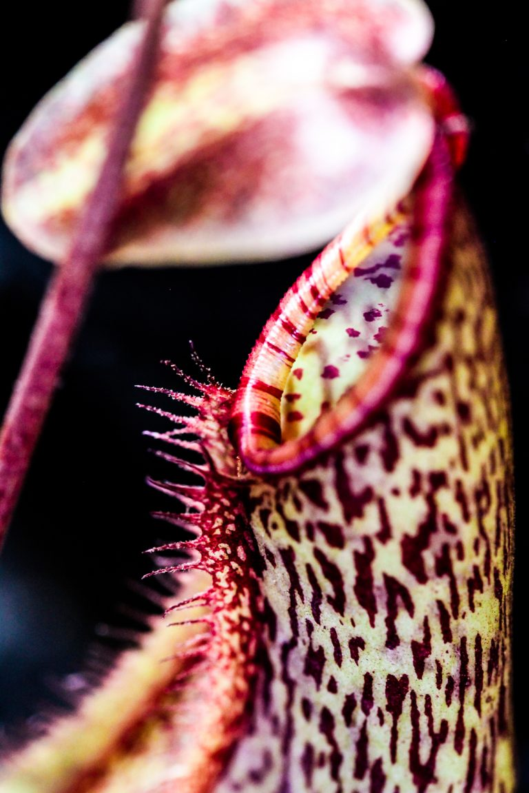 "Nepenthes ""Gentle"""