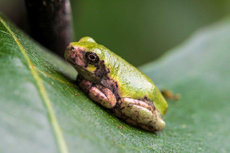 Bird-voiced Tree Frog
