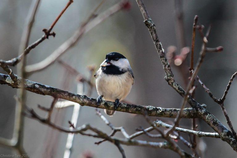 Winter Local – Chickadee