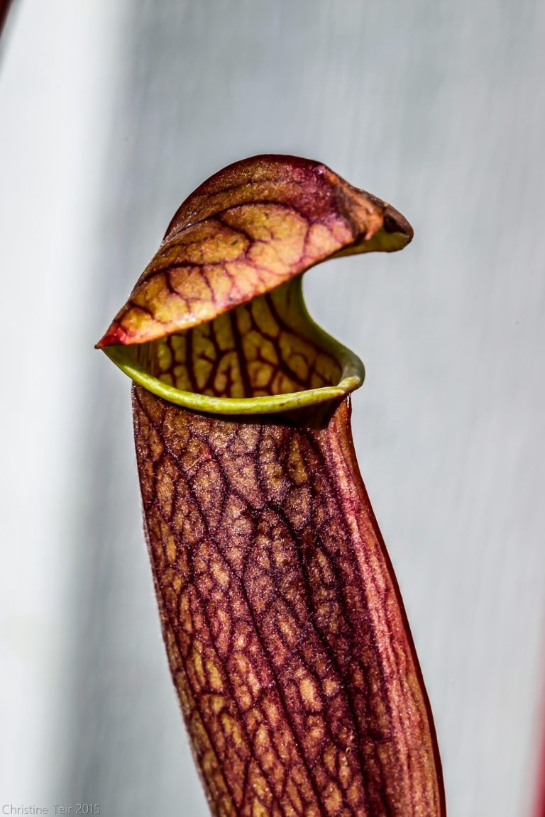 Sarracenia, Laughing