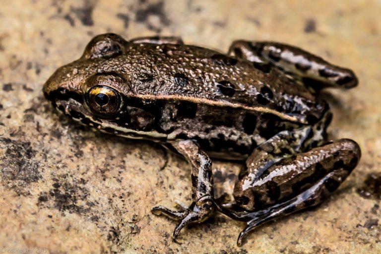 Juvenile Leopard Frog