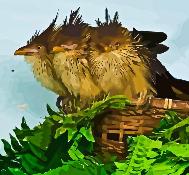 Kookaburra Chicks