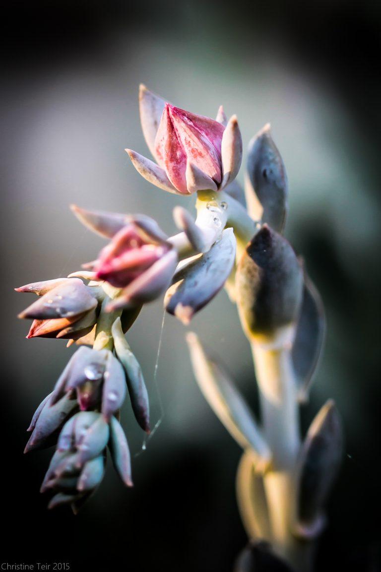 Echeveria Buds