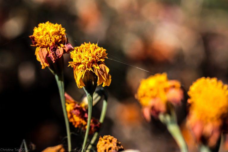 Frostbitten Marigolds