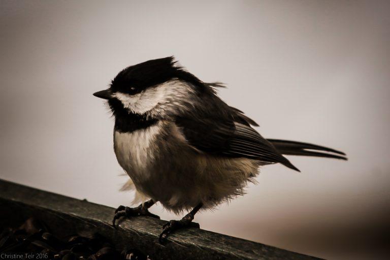 Overcast Chickadee