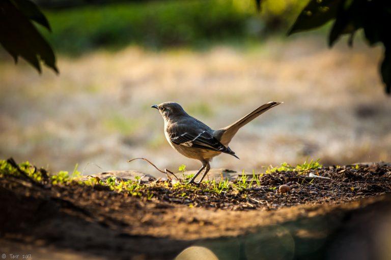 Mockingbird Glamourshot