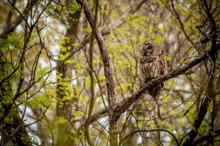 Barred Owl…
