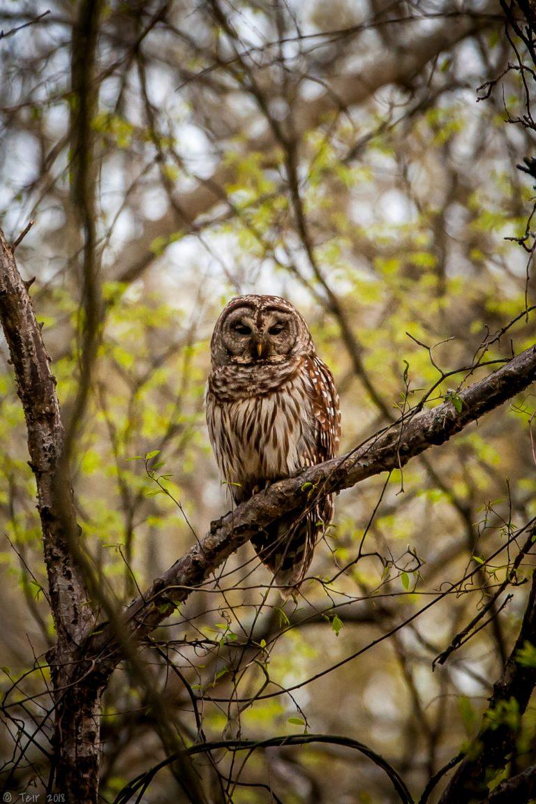 Barred Owl..