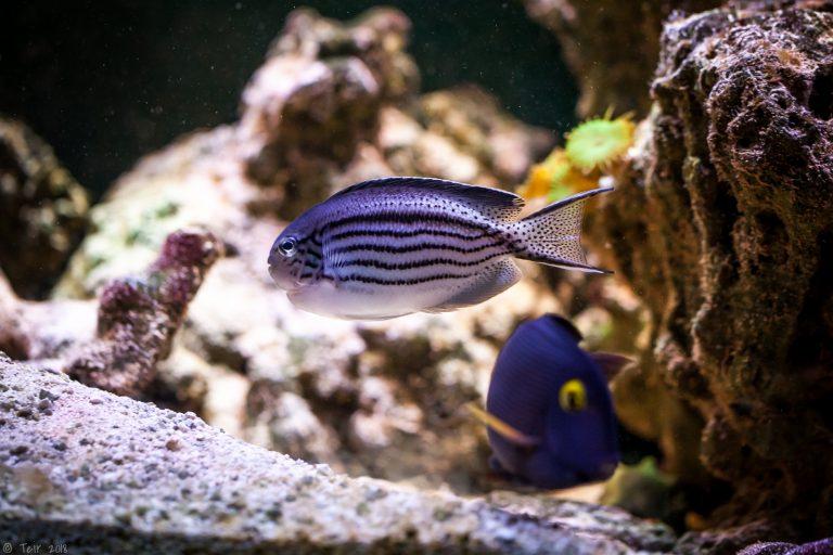 Lamarck's Angelfish