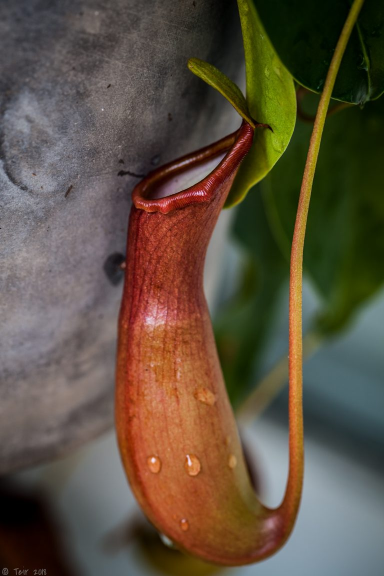Nepenthes coloring up.